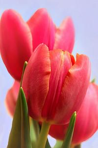 Tulips Explore #447 Feb. 12 2010