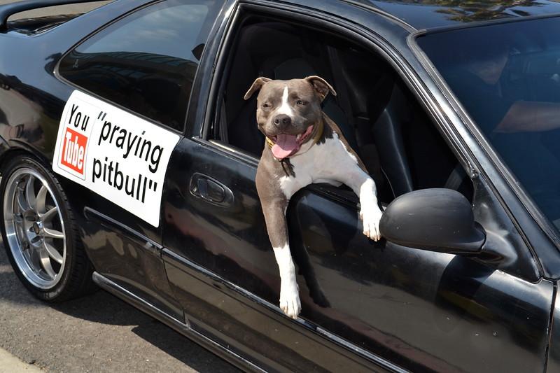 Praying Pitbull