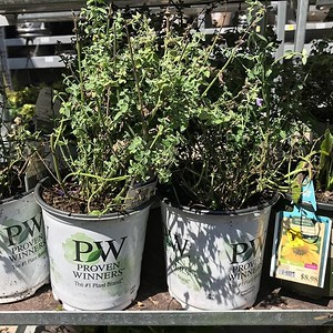 "#nepeta rescue! #catmint was on my ""plants to search for"" list and @icee_t found these poor plants in need of rescuing and the fact that it is from the #provenwinners brand is the icing on the cake. #bargainhhunter"