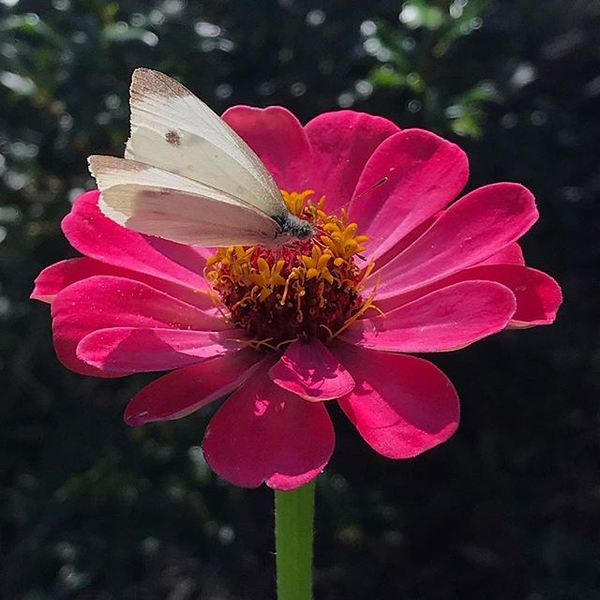 Skipper on a Zinnia. The secret to having beneficial insects in your garden... Food (flowers), host plants (milkweed, dill, parsley..), and minimize pesticides including organic ones. Localized treatment only if necessary. Avoid systemic methods. // I hav