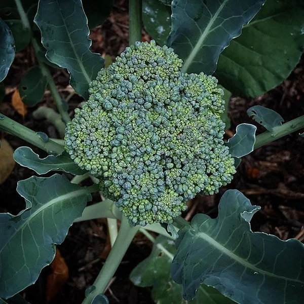 I lost a few #broccoli and cauliflowers because I didn't know when to harvest them. #dobetternexttime