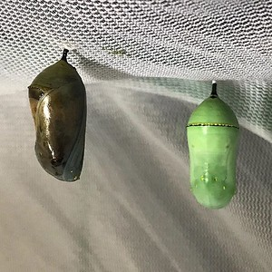 I earlier mentioned that the chrysalides will be ready for butterflies to emerge by Monday to Wednesday but only one of them has turned dark indicating that a butterfly has formed. That's what I think anyway... I hope the caterpillar was not infected and