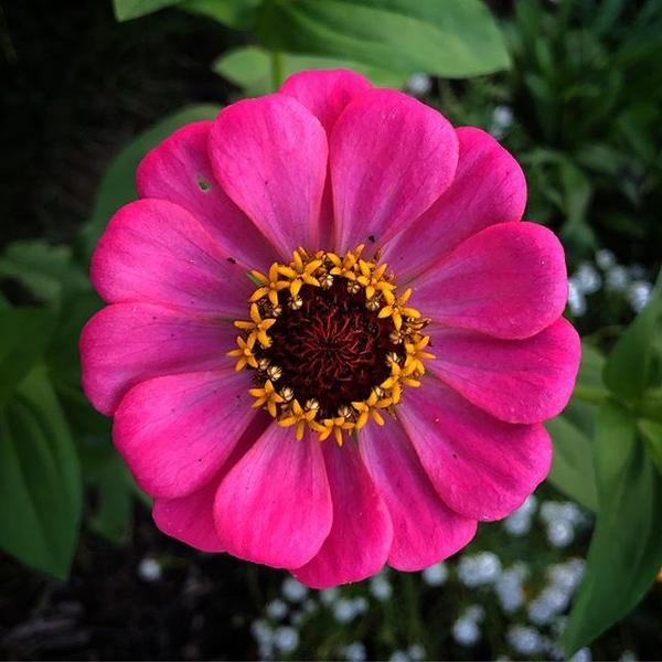 Butterfly  Magnet #zinnia #flower