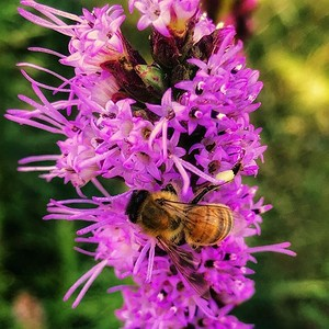 Liatris spicata - Blazing Star #flower #gardening for #insects not just #bees