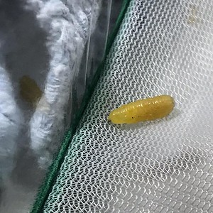 I'm sad to report that my worst fear had come true. Second chrysalis was indeed infected with a tachinid fly. This maggot came out of it last night when my video was turned off. The leaking chrysalis crumbled as I carefully removed it this morning. The ca