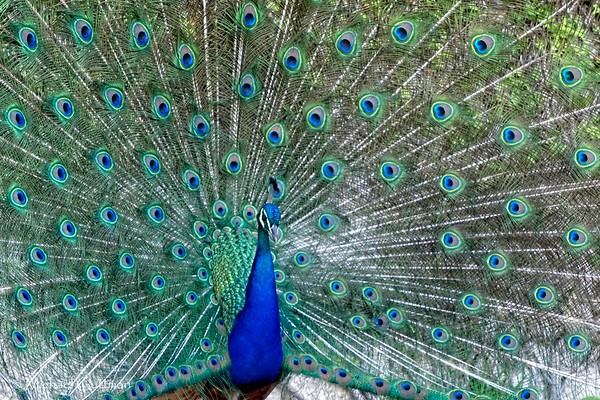 Porto Peacock