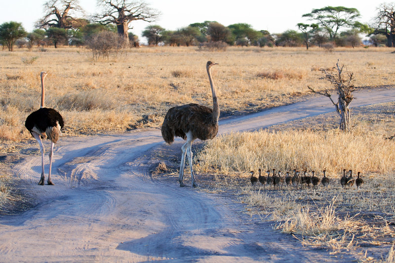 20121024-tarangire-ostrich (2)
