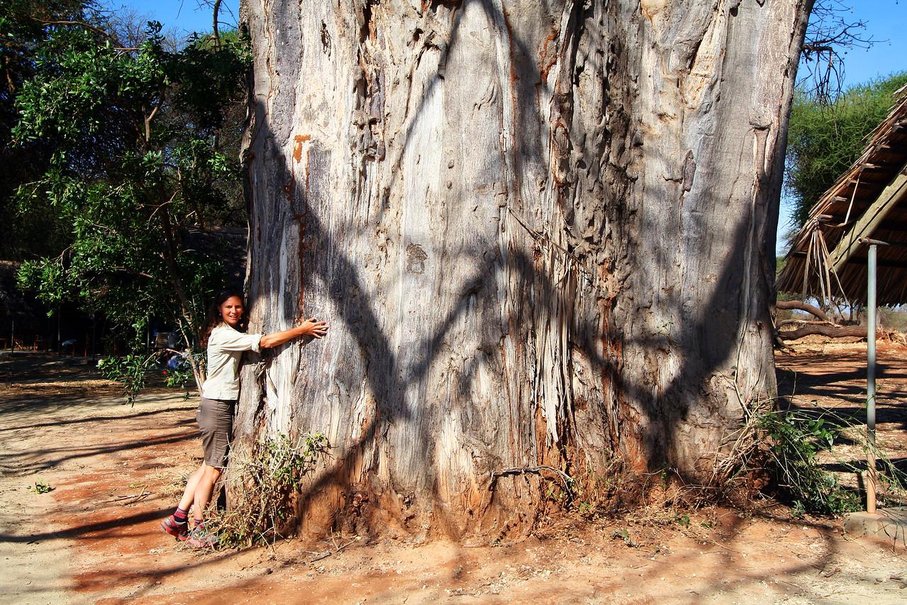 20121025-tarangire-baobab-robin (2)