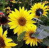 Sunflowers <br /> Farmer Johns sunflowers are just about at peak bloom now. This was taken from outside the farm along the road.
