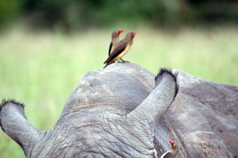 20121124-safrica-malamala-safari-rhino (8)