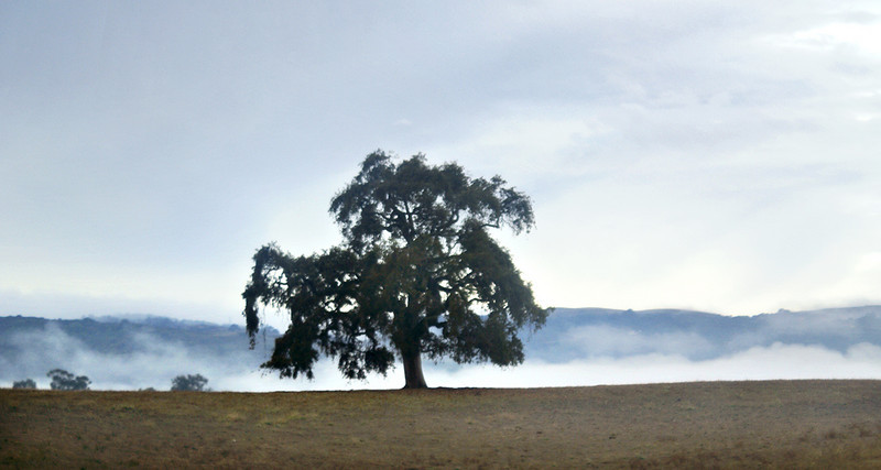Live oak and fog <br /> It was December 4 and we left the house and headed down to Campbell on Interstate 280. Please tell me someone actually was able to stop and take photos of this fantastic fog event! I was riding in the car and couldn't stop (late for work). This is my favorite Live Oaks near Stanford.