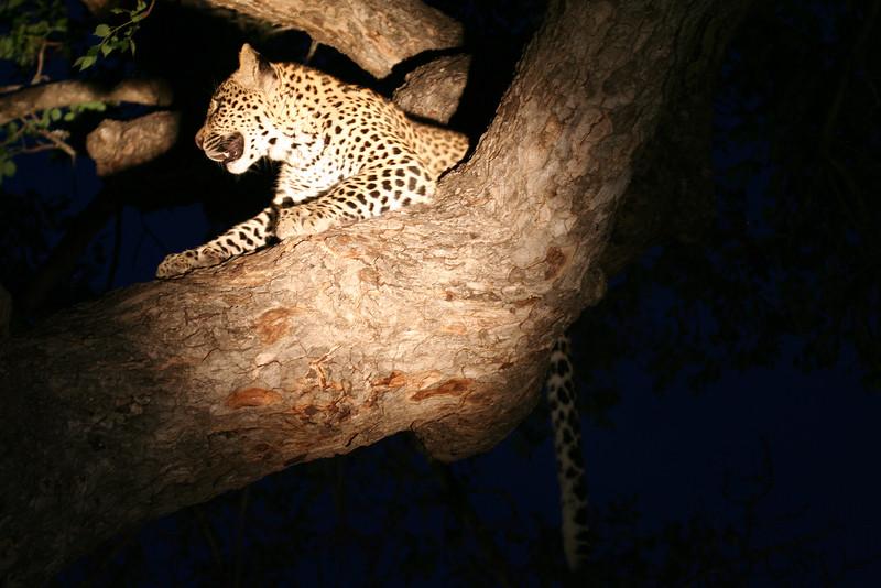20121124-safrica-malamala-safari-leopard (22)