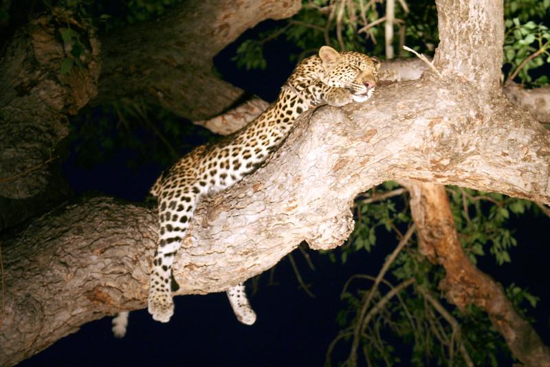 20121124-safrica-malamala-safari-leopard (23)