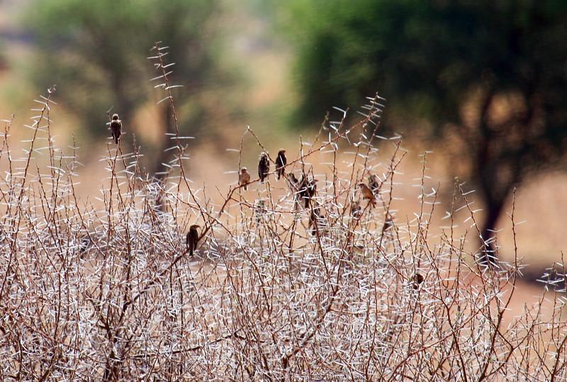 20121025-tarangire-bird (2)