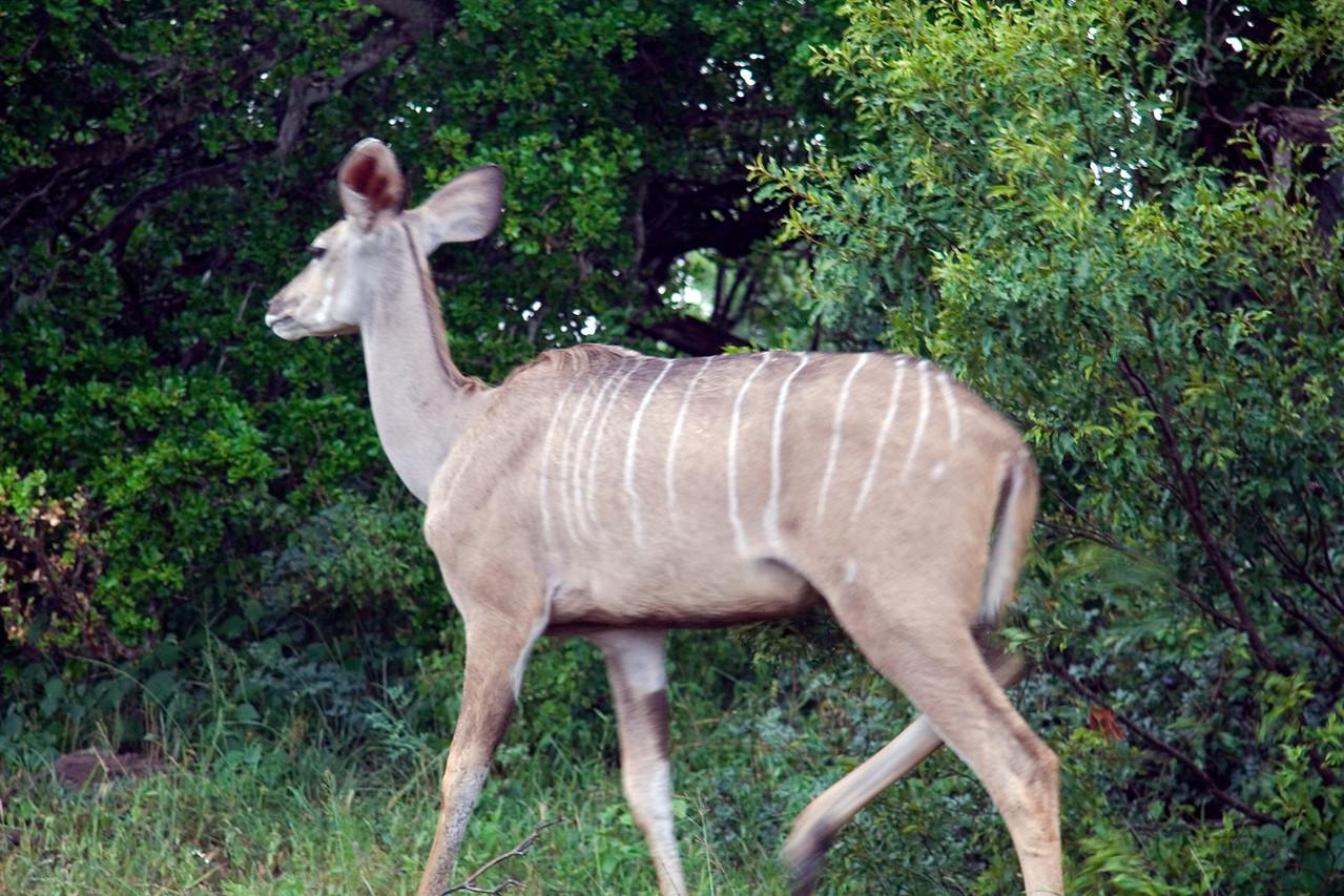20121125-safrica-malamala-safari-kudu