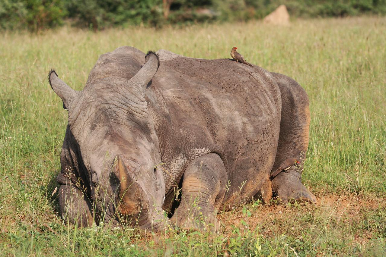 20121124-safrica-malamala-safari-rhino (10)