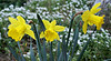 Three Daffodils <br /> Spring is here already -- it's only February in California.