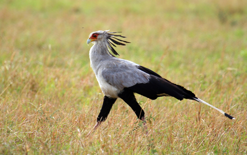 20121029-serengeti-secretary-bird (2)