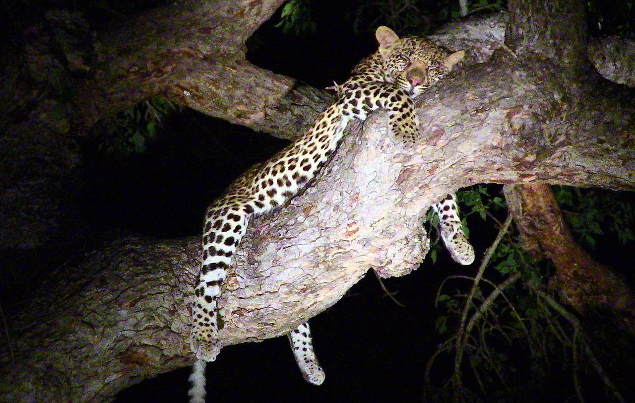 20121124-safrica-malamala-safari-leopard (30)