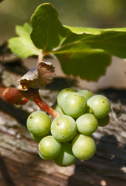 Green grapes on the vine <br /> We went to visit a local San Mateo vineyard so I could get some grape photos.