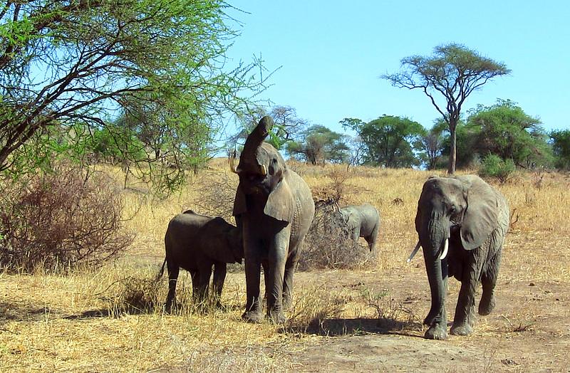 20121025-tarangire-elephant (22)