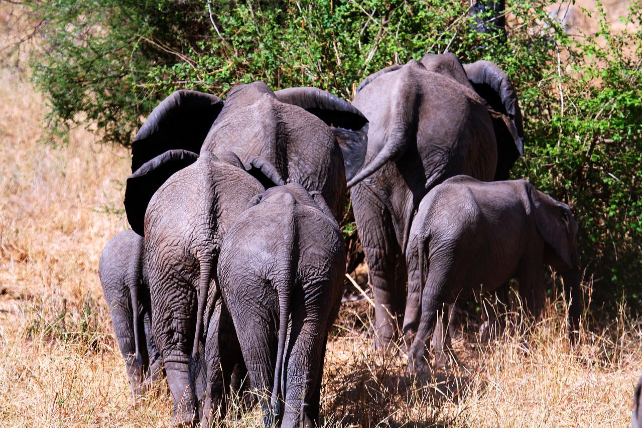 20121025-tarangire-elephant (18)