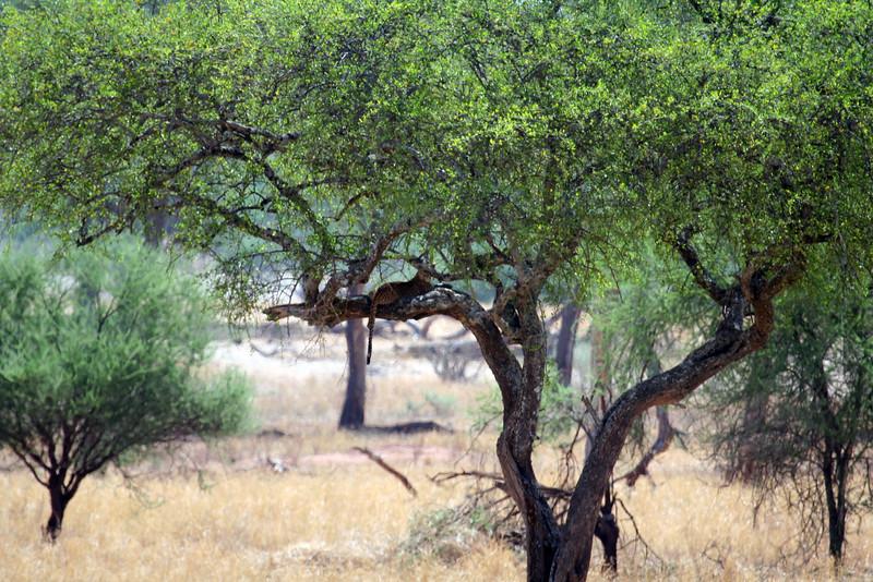 20121025-tarangire-leopard (6)