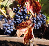 Bunches of grapes with autumn colors <br /> A closeup of grapes and autumn leaves on the vine.
