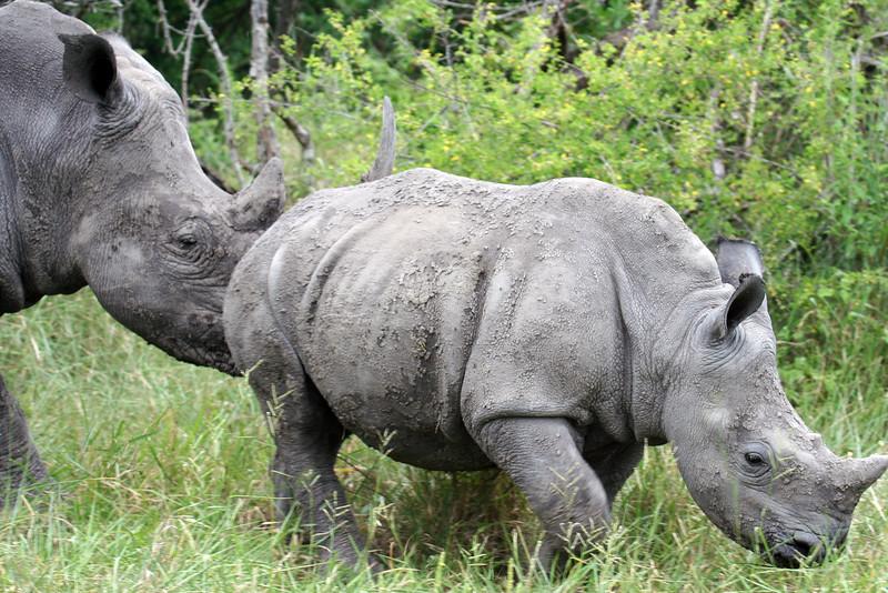 20121124-safrica-malamala-safari-rhino (13)