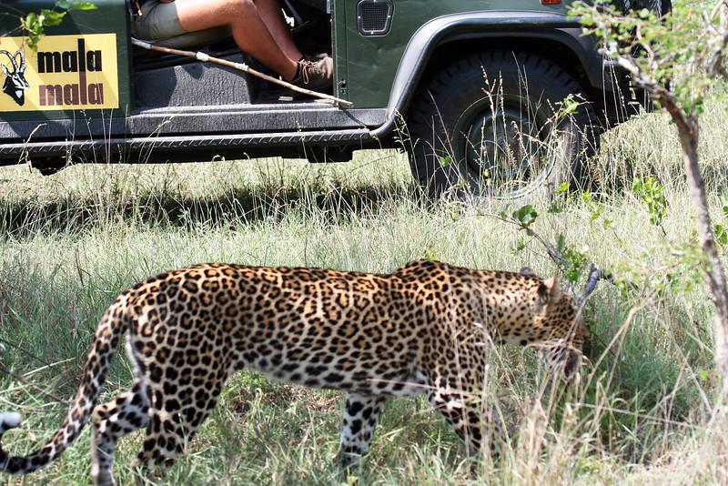 20121124-safrica-malamala-safari-leopard (18)-malamala