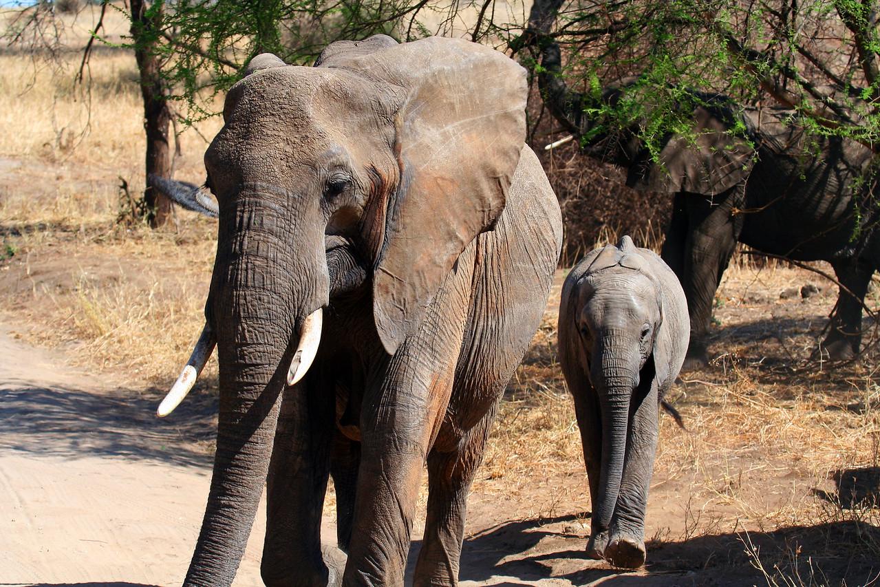 20121025-tarangire-elephant (17)