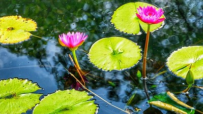 Lotuses and Water Lilies