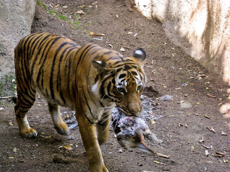 tiger-kill4.jpg