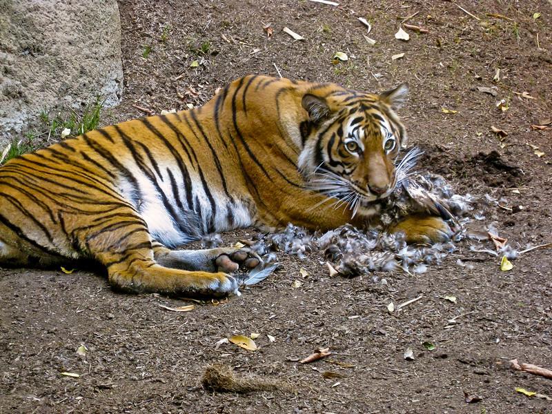 tiger-kill5.jpg