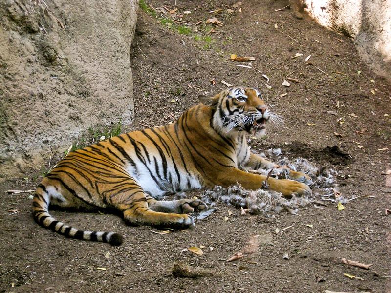 tiger-kill3.jpg