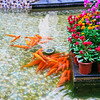 Gold Fish in the tiled pond (2013-09-09_0007)