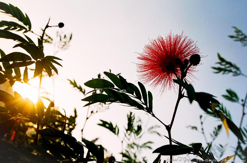 Flower at sunset (2013-11-26_36660020)