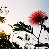 Flower at sunset (2013-11-26_36660020)