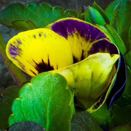 First Pansy Opening