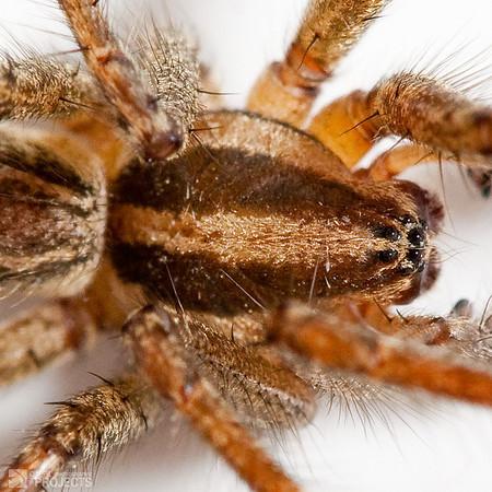 Hobo Spider Close Crop