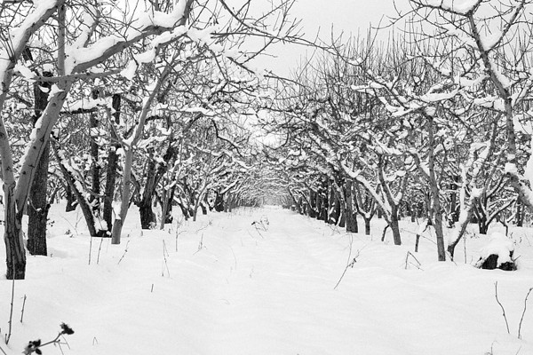 Snowy Orchard