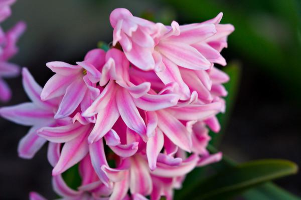 Hyacinth pink & white