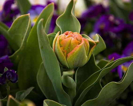 Tulip Budding