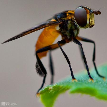 Hover Fly macro
