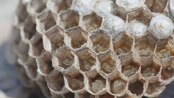 5D Mkii Macro Video of a Wasp Nest