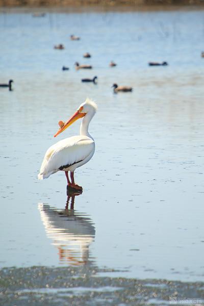 Utah Pelican 3