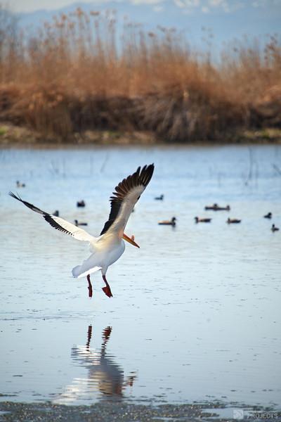 Utah Lake Pelican