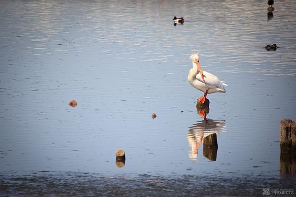 Utah Lake Pelican 2