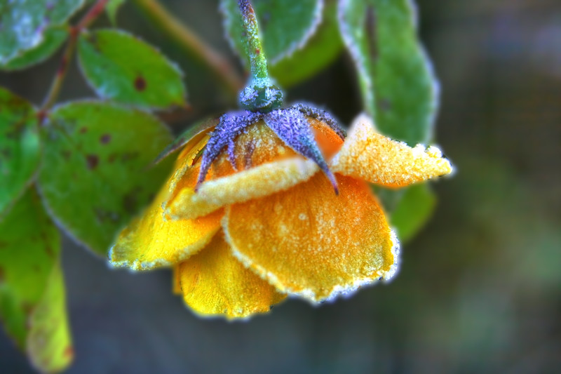 frosty rose manipulated.jpg