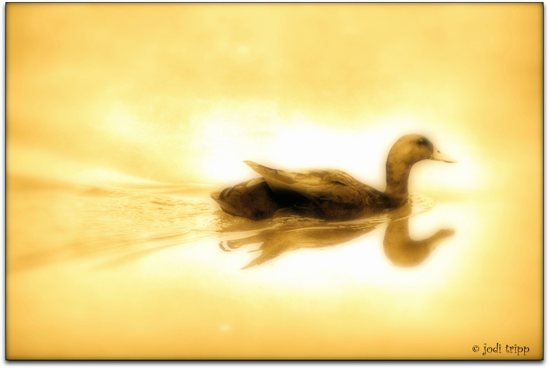 Sepia duck